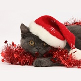 Grey kitten with tinsel and wearing a Santa hat