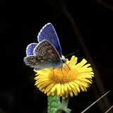 Common Blue Butterfly on fleabane