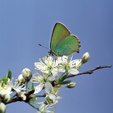Green Hairstreak Butterfly on blackthorn