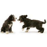 Playful Bearded Collie pups