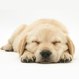 Sleepy Retriever-cross pup