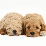 Sleepy American Cockapoo puppies