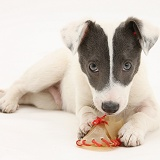Jack Russell Terrier pup with a rawhide shoe chew