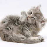 Maine Coon kitten grooming a hind foot