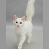 White cat walking forward