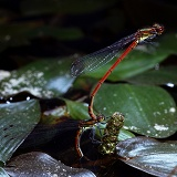 Large Red Damselfly egg-laying