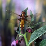 Wide-bodied Chaser Dragonfly female on comfrey