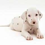 Odd-eyed Dalmatian pup, 8 weeks old
