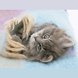 Maine Coon kitten under a blanket