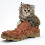 Maine Coon kitten, 7 weeks old, in a shoe