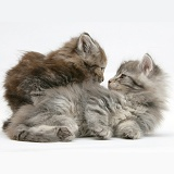Maine Coon kittens, 7 weeks old