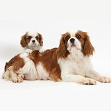 Blenheim Cavalier King Charles Spaniel mother and pup
