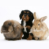 King Charles Spaniel pup and Lionhead rabbits