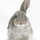 Grey windmill-eared rabbit