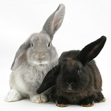 Two windmill-eared rabbits