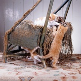 Kittens scratching and shredding a chair