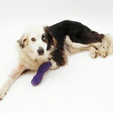 Border Collie with bandaged leg