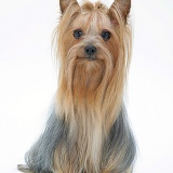 Yorkshire Terrier in show coat