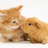 Ginger Maine Coon kitten meeting a ginger Guinea pig