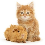 Ginger Maine Coon kitten with a ginger Guinea pig