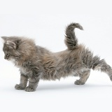 Maine Coon kitten, 8 weeks old, stretching