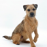Border Terrier dog listening with ears cocked