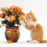 Ginger-and-white kitten playing with flowers
