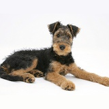 Airedale Terrier bitch pup