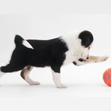 Black-and-white Border Collie pup with a ball