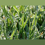 Early morning dew on grass