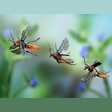 Soldier beetle in flight