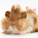 Bad-hair-day Guinea pig