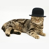 British Shorthair brown tabby cat wearing a bowler hat