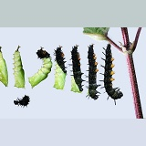 Peacock Butterfly caterpillar to pupa series