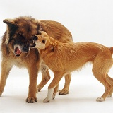 Lakeland Terrier x Border Collie and Alsatian play-fighting
