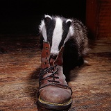 Badger investigating a Dr Marten boot