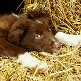 Chocolate Border Collie puppy resting on straw