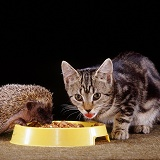 Tabby kitten and young Hedgehog sharing food