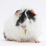 Black-and-white Guinea Pig