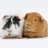 Black-and-white and red Guinea Pigs