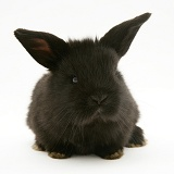 Baby black Lop rabbit