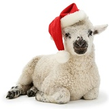 Lamb wearing a Santa hat