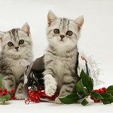 Silver tabby kittens with holly and parcel