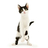 Black-and-white kitten standing up