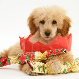 Apricot Miniature Poodle with Christmas Crackers