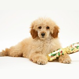 Apricot Miniature Poodle with Christmas Cracker