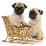 Fawn Pug pups with a wicker toy sledge