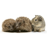 Guinea pig and young hedgehogs