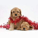Golden Cockapoo pups, 6 weeks old, with tinsel