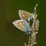 Common Blue Butterflies mating